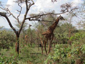 See Giraffe in Rwanda and die